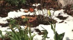 Yellow tulips bulb in the snow 1 Stock Footage
