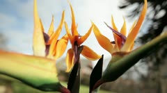 Strelitzia or Bird of paradise in gentle breeze Stock Footage