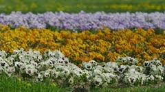Pansies flowers Stock Footage
