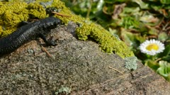 Great Crested Newt in early spring - stock footage