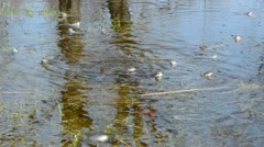 European common frog with spawn in pond Stock Footage