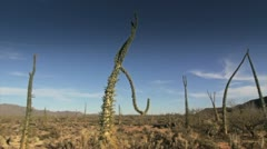 Cactus in desert Stock Footage