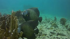 French Angelfish Stock Footage
