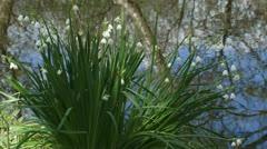 Summer snowflake - Summer giant snowflake - Leucojum aestivum  blooming 01i Stock Footage