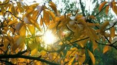 sunlight shining through autumn leaves - stock footage