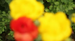 Close up colorful ranunculus flowers Stock Footage