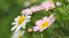 Close up of pink-white senecio cruentus Stock Footage