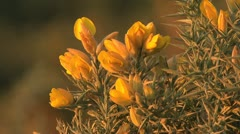 Spain Castile gorse flowers close narrow focus Stock Footage