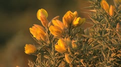 Spain Castile gorse flowers zoom out to bushes Stock Footage