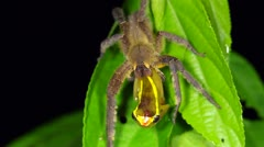 Venomous wandering spider eating a treefrog - stock footage