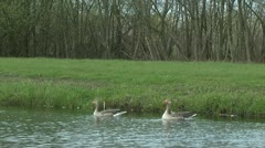 Greylag gooses swimming Stock Footage