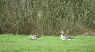 Stock Video Footage of greylag gooses grazing