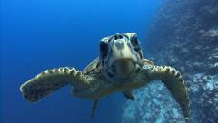 Swimming Turtle inspects viewer Stock Footage