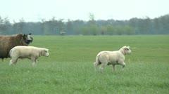 lamb walking - stock footage