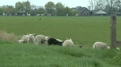 Lambs Stock Footage