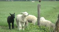 Stock Video Footage of lambs