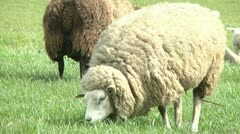 white sheep grazing - stock footage