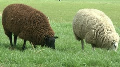 Black and white sheep Stock Footage