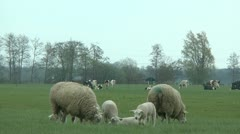 Sheep and cow Stock Footage
