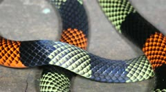 Amazonian Coral Snake (Micrurus spixii obscurus) Stock Footage
