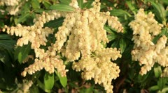 Pieris in flower Stock Footage
