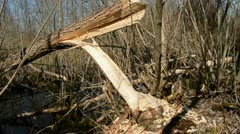European beaver demolished willow for nutrition Stock Footage