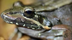 An extreme macro of a frog breathing in the Peruvian Amazon Stock Footage