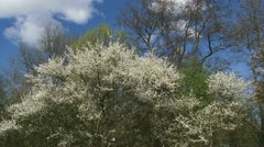 Prunus spinosa, blackthorn, sloe white blossoms early spring pan 02p Stock Footage