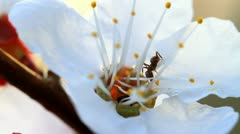 Ants and flower apricot Stock Footage