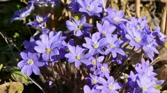 Early spring violet flowers and wind Stock Footage