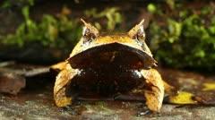 Spix's Horned Treefrog (Hemiphractus scutatus) Stock Footage