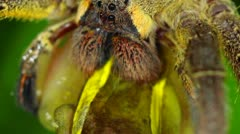 Venomous wandering spider eating a treefrog Stock Footage