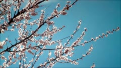 Twigs with peach blossoms Stock Footage