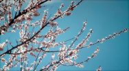 Stock Video Footage of Twigs with peach blossoms