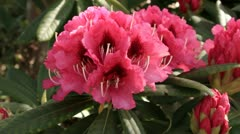 Rhododendron bush in flower Stock Footage