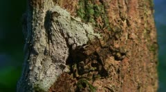 Uroplatus camouflage Leaf-tailed Gecko 2 Stock Footage