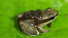 Amazon Rocket Frog (Allobates insperatus) Stock Footage