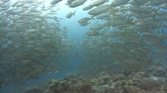 Huge school of silver fish move in unison - stock footage