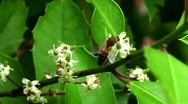 Stock Video Footage of Honey Bee on Holly Bush