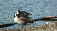Geese bath time 2 Stock Footage