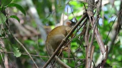 A cute and inquisitive WILD baby Squirrel Monkey (Saimiri boliviensis) Stock Footage
