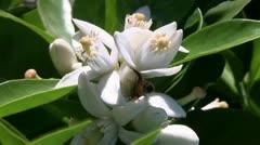 Honeybee, citrus tree blossom Stock Footage