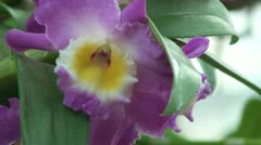 Dendrobium Wave King Stock Footage