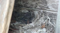 Forest lark nestlings in the nest Stock Footage