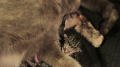 Stock Footage - Newborn Kittens - moving and nursing as mother is cleaning Stock Footage