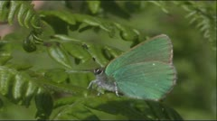 Green Hairstreak Butterfly turning on leaf Stock Footage