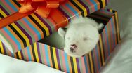 Newborn puppy sleeping in a gift box Stock Footage