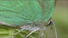 Green Hairstreak BCU walking on leaf Stock Footage
