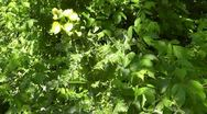Amid Nature - Prickley Sow Thistle with White Eyed Vireo Bird Song Stock Footage