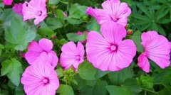 Blossom mallow wildflowers close-up Stock Footage